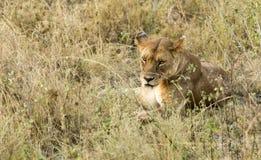 雌狮凝视 免版税库存图片