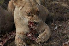 雌狮吃 库存照片