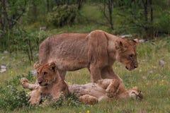 雌狮和两头幼小狮子 库存图片