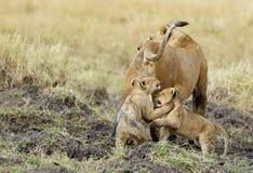 雌狮和她的崽在马塞语玛拉 免版税库存照片