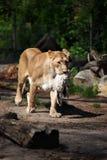 雌狮和她的牺牲者 库存照片