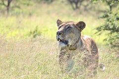 雌狮四处寻觅 免版税库存照片