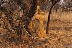 雌狮国家公园serengeti坦桑尼亚结构树 库存图片