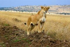 雌狮国王 免版税库存照片