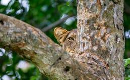 雌狮在一棵大树的树枝掩藏 乌干达 5 2009年非洲舞蹈东部maasai行军执行的坦桑尼亚村庄战士 图库摄影