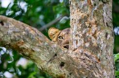 雌狮在一棵大树的树枝掩藏 乌干达 5 2009年非洲舞蹈东部maasai行军执行的坦桑尼亚村庄战士 免版税图库摄影