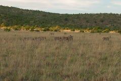 雌狮在一片草原在Pilanesberg 免版税库存照片