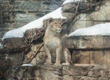 雌狮在冬天 图库摄影