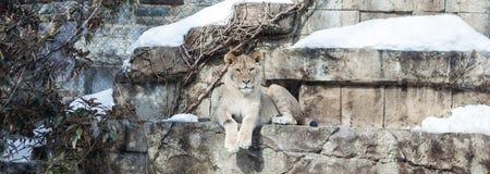 雌狮在冬天 免版税库存图片