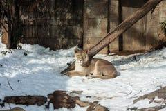 雌狮在冬天 库存图片