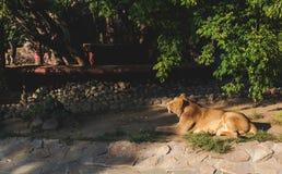 雌狮在动物园里 库存照片