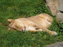 雌狮在动物园里 免版税图库摄影
