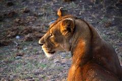 雌狮在非洲 库存照片