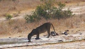 雌狮在寻找饮用水以后 库存照片