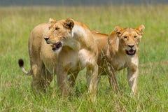 雌狮妈妈和女儿 免版税库存图片