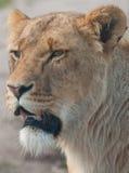 雌狮巡逻 免版税图库摄影
