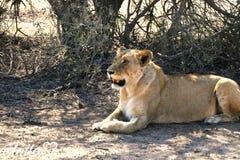 雌狮我的女王/王后 免版税库存照片