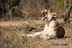 雌狮打呵欠的南非 库存照片