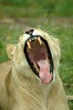 雌狮打呵欠的年轻人 免版税库存照片