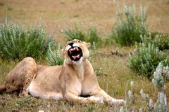 雌狮打呵欠的Etosha纳米比亚 库存照片