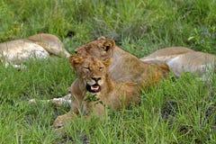 雌狮气喘 图库摄影