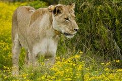 雌狮注意 免版税库存照片