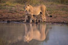 雌狮爱 库存照片