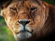 雌狮狮子画象 免版税库存照片