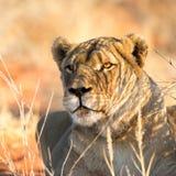 雌狮画象,喀拉哈里沙漠,纳米比亚 免版税库存图片