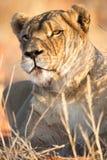 雌狮画象,喀拉哈里沙漠,纳米比亚 免版税图库摄影
