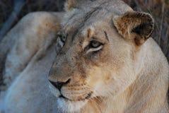 雌狮的特写镜头 免版税库存照片