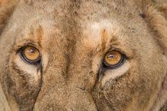 雌狮的眼睛 库存照片