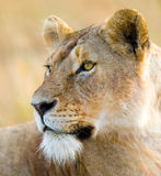 雌狮的纵向 特写镜头 肯尼亚 坦桑尼亚 马赛马拉 serengeti 免版税库存照片