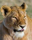 雌狮的纵向 特写镜头 肯尼亚 坦桑尼亚 马赛马拉 serengeti 库存图片
