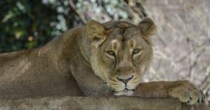 雌狮的纵向 库存照片