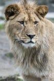 雌狮的纵向 免版税库存图片