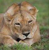 雌狮的画象,在草说谎 特写镜头 乌干达 免版税图库摄影