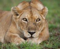 雌狮的画象,在草说谎 特写镜头 乌干达 免版税库存图片
