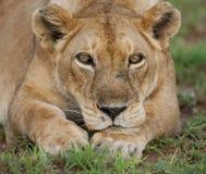 雌狮的画象,在草说谎 特写镜头 乌干达 免版税库存照片