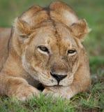 雌狮的画象,在草说谎 特写镜头 乌干达 图库摄影