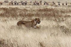 雌狮纳米比亚 免版税库存照片