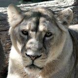 雌狮纵向 库存图片