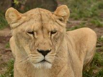雌狮纵向  免版税图库摄影