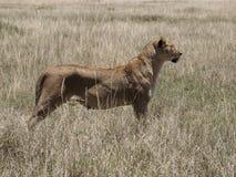 雌狮观看 图库摄影