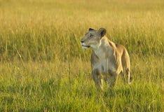 雌狮豹属利奥 库存图片