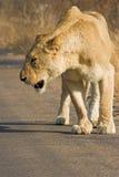 雌狮走 免版税图库摄影
