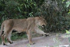 雌狮走 免版税库存图片