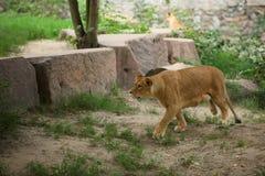 雌狮运行 图库摄影