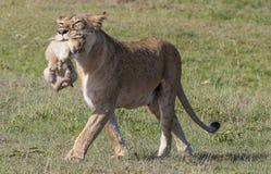 雌狮运载的崽在马赛马拉 免版税库存照片
