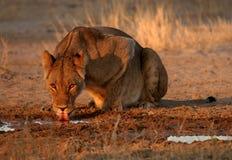 雌狮饮用水 库存照片